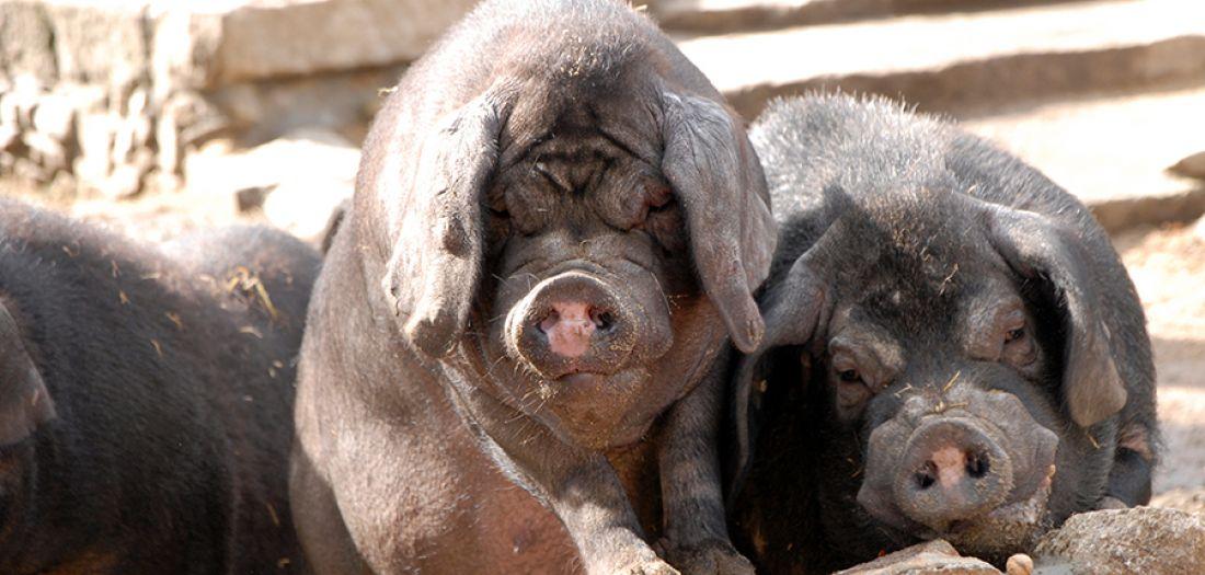 Patenschaft für Hausschwein