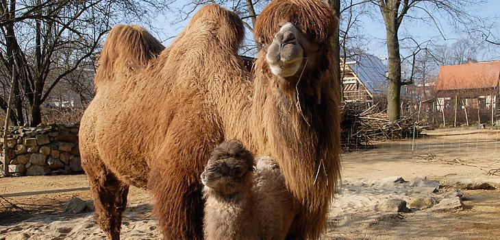 Patenschaft für Kamel