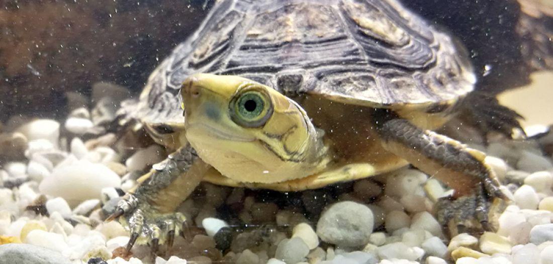Patenschaft für Goldkopfschanierschildkröte