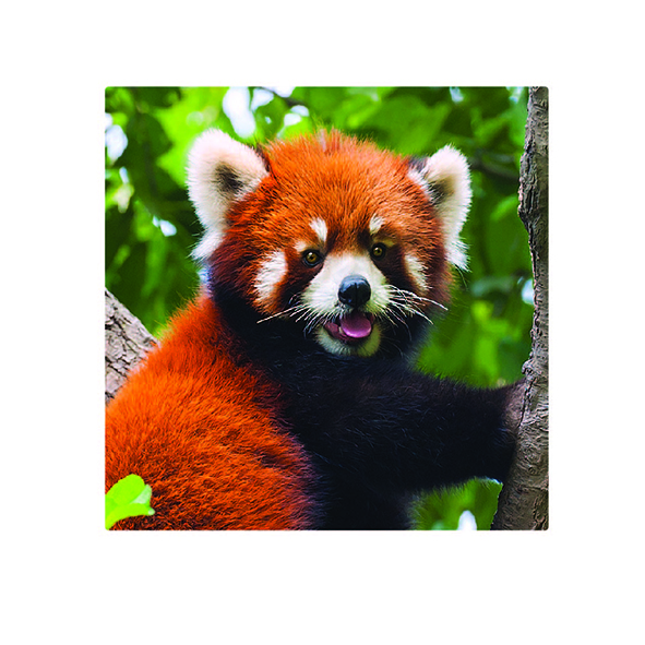 Foto Magnet: Roter Panda