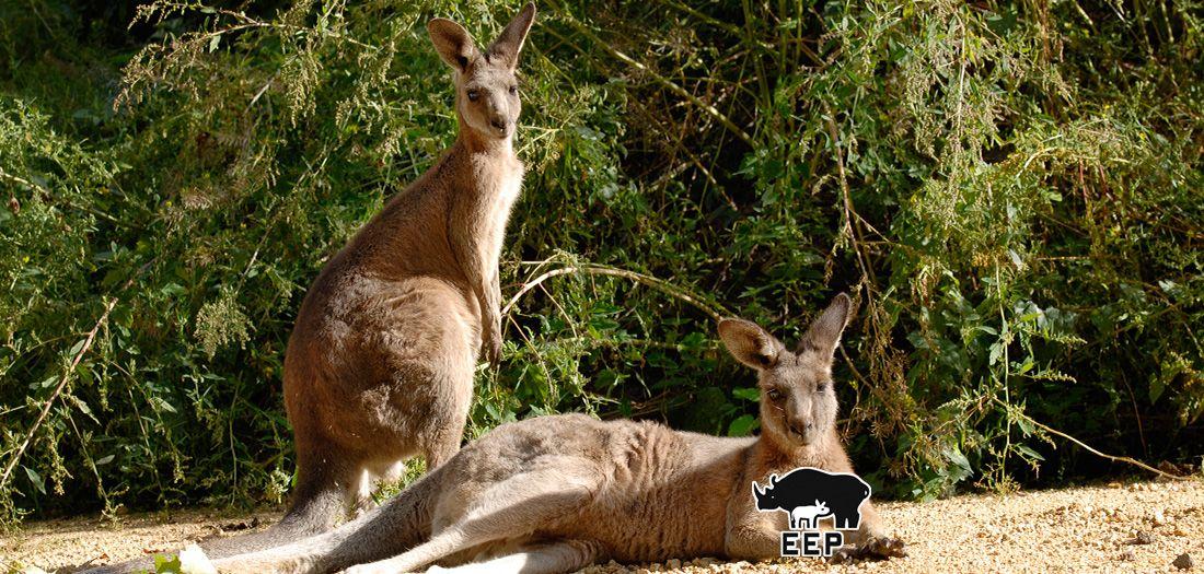 Patenschaft für Känguru